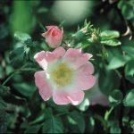 WILD ROSE (6)
